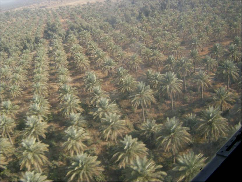 Helicopter view of date palms in Iraq, 2008. Photo courtesy of Sarah Colby