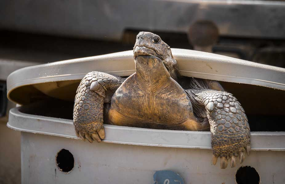 A gopher tortoise gets ready for its new home on the Eglin Air Force Base range in 2016.
