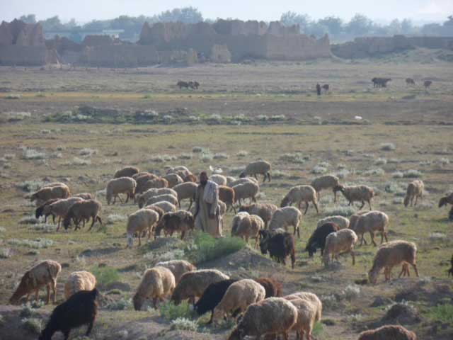 A shepherd tends his flock in Afghanistan. Photo courtesy of the author.