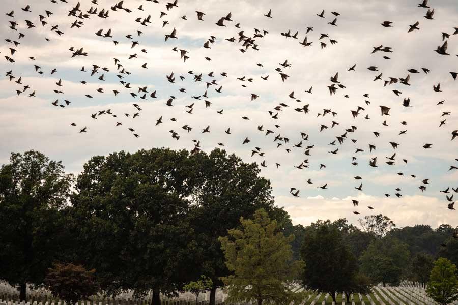 Birds fly through Arlington National Military cemetery following a thunderstorm. Photo by Eliot Dudik, for The War Horse.